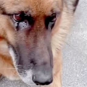 كلبة بوليسية تبكي بعد رؤية مدرّبها الغائب عنها لسنوات (فيديو)