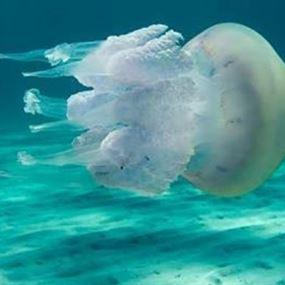 حيوان غازي في بحر لبنان.. احذروه!