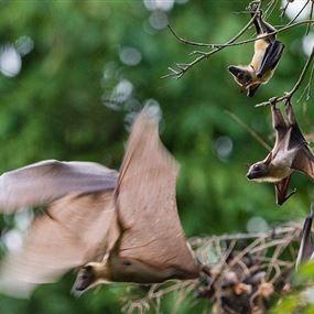 مفاجأة علمية.. فيروس كورونا موجود في الخفافيش منذ 72 عاما
