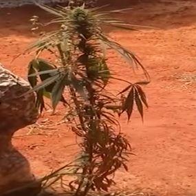 بالفيديو: نبتة حشيشة تنمو في باحة المجلس الدستوري