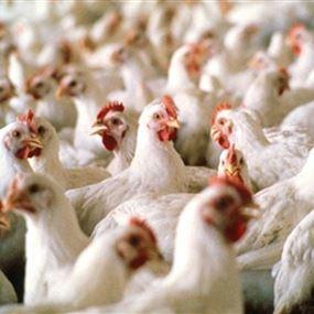 أمين سر النقابة اللبنانية للدواجن يحذر من الدجاج المجلّد
