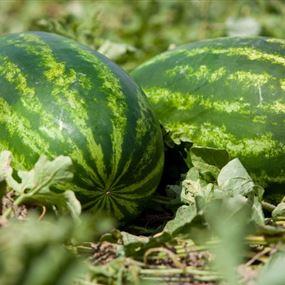 بالصور.. البطيخ المفخخ آخر صيحات الإرهابيين!
