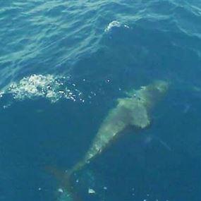 بالفيديو: فضيحة قتل دلفين بحر عدلون.. بيتّاكل؟