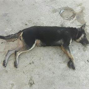 جريمة مروعة.. في لبنان سمموا لعشرات الكلاب!