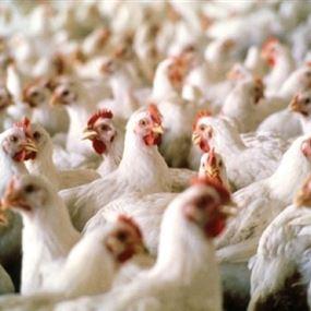 رئيس نقابة مربي الدواجن لوزير الزراعة: خذلتنا!