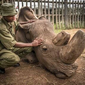 موت آخر وحيد قرن أبيض.. لماذا كان سودان من فصيلة نادرة؟