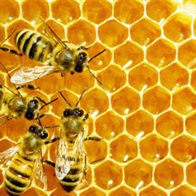 النحل يكشف المخدرات